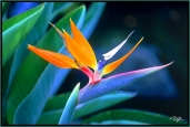 Hawaii_vkt_f-02-b-bird-of-paradise-web